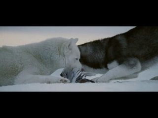 ����� ���� (Eight Below) ����������� ����� ��� �����  �����